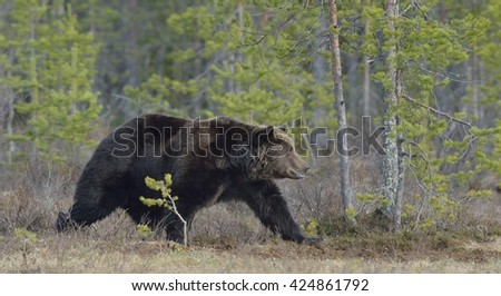 Adult male of Brown Bear (Ursus arctos) on the bog in spring forest. - stock photo