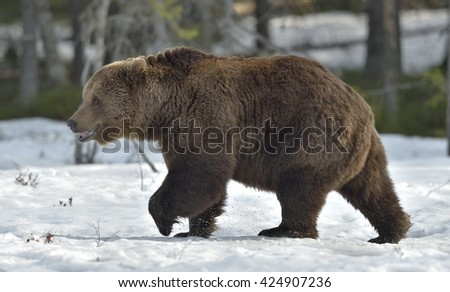Adult male of Brown Bear (Ursus arctos) on the snow in spring forest.  - stock photo