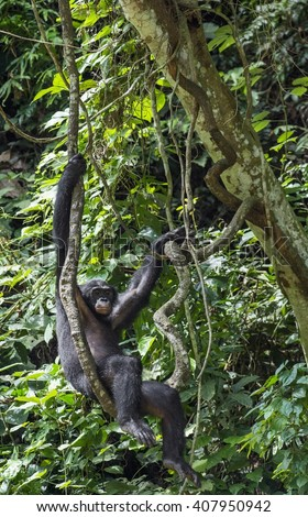 Adult male of Chimpanzee bonobo ( Pan paniscus) on tree branches.  Green forest  natural background. Democratic Republic of Congo.   Africa. - stock photo