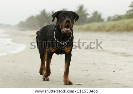 ADULT MALE ROTTWEILER ON THE BEACH, OBSERVE THE BEAUTIFUL EXPRESSION OF THIS BREED   - stock photo