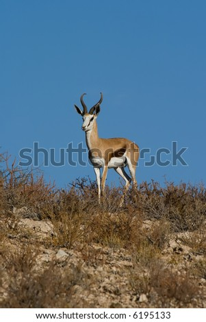 Adult male springbok with blue sky background - stock photo