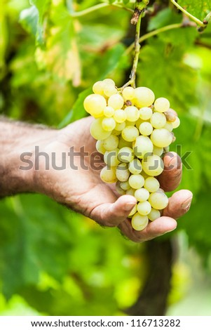 Adult Man Harvesting Grapes in the Vineyard - stock photo