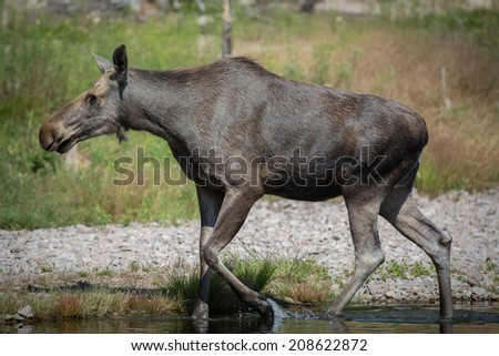 Adult moose in the water