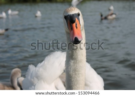 adult mute swan on river - stock photo