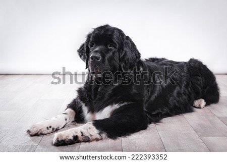 adult Newfoundland in studio by the fireplace - stock photo