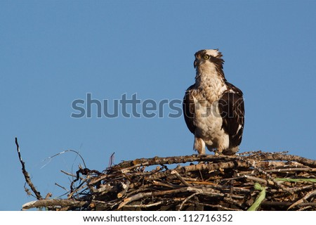 Adult Osprey on nest against a clear blue sky background; bird of prey / fish hawk / sea hawk / fish eagle - stock photo
