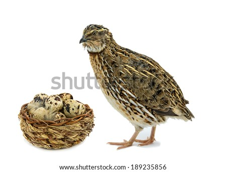 Adult quail and basket with eggs isolated on white background