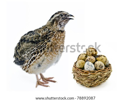 adult  quail and wood basket filled with eggs  isolated on white background - stock photo