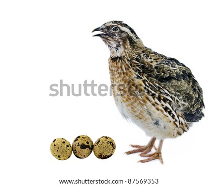 Adult quail with its eggs isolated on white background - stock photo