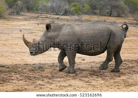 Adult rhinoceros, side view, in Kruger National park. The rhino is one of the big 5 animals of South Africa.