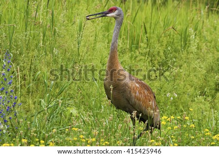 Adult Sandhill Crane, Grus canadensis, feeding in meadow