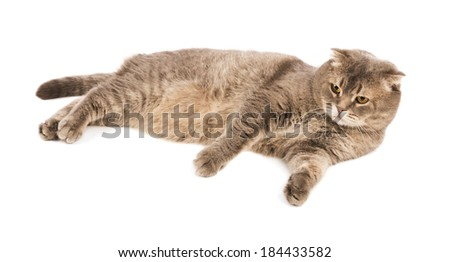 Adult  Scottish Fold cat lies on white isolated background - stock photo
