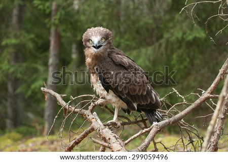 Adult Short-toed snake eagle on spruce branches.  - stock photo