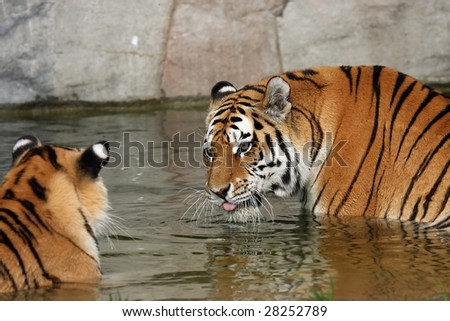 Adult Siberian Tiger sending a warning to her Cub. - stock photo