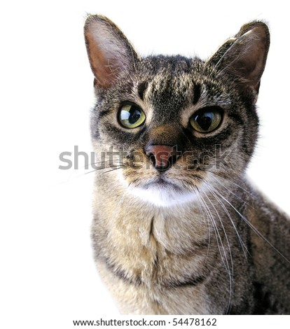 Adult tabby cat with a fixed look - stock photo
