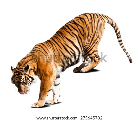 Adult tiger. Isolated  on white with shade - stock photo