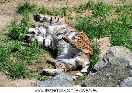 Adult tiger lying grass with his paws to the top