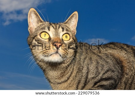 Adult tiger pattern cat tabby against the deep blue sky - stock photo