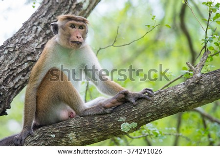 Adult toque macaqua monkey (Macaca sinica) endemic to Sri Lanka, sitting on a tree in natural habitat