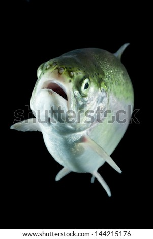 Adult trout fish isolated on black. - stock photo