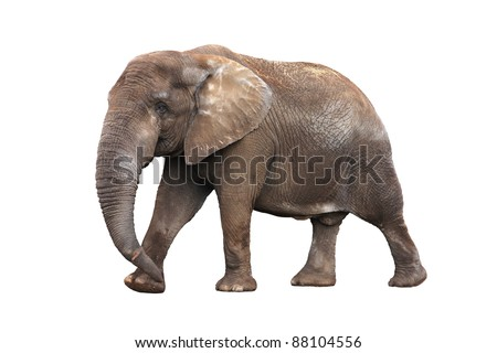 Adult walking elephant isolated on white background