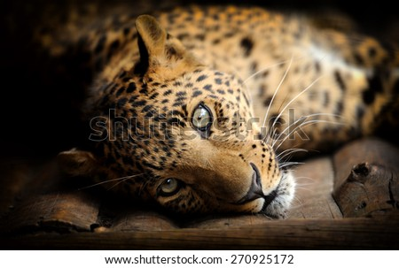 Adult wild leopard in a natural environment - stock photo