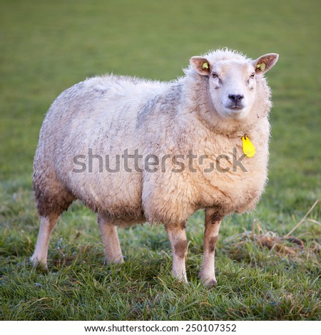 adult woolly sheep stands in green meadow and looks