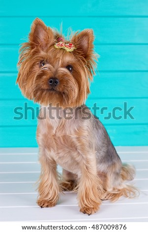Adult Yorkshire terrier on a blue fence