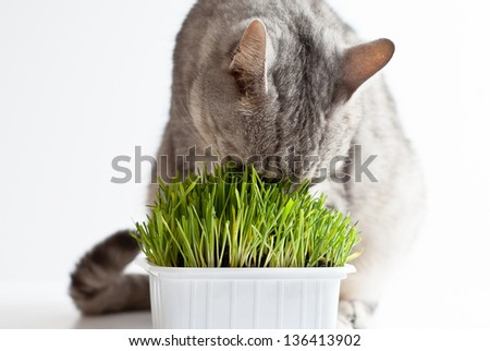 Adult young gray cat sitting and eating fresh green grass on white background - stock photo