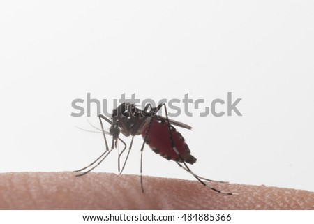 Aedes aegypti. Close up a Mosquito sucking human blood,Mosquito is Vector-borne diseases,Chikungunya.Dengue fever.Rift Valley fever.Yellow fever.Zika.