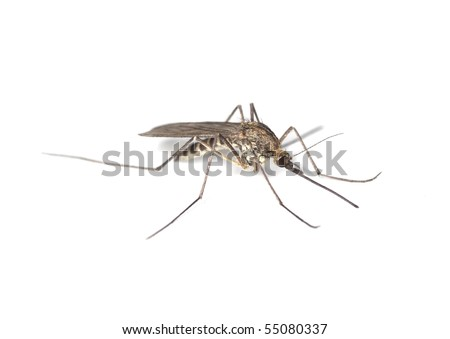 Aedes mosquito isolated on white background. Extreme close-up