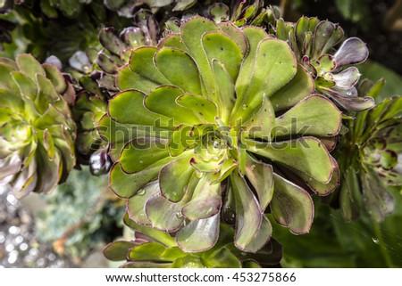 Aeonium -  decorative succulent subtropical plant family Crassulaceae in a garden. - stock photo