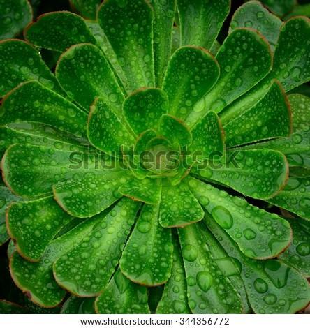 Aeonium with morning raindrops - stock photo