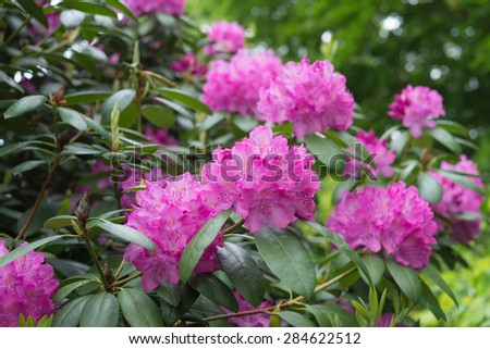 Aerial view beautiful pink Rhododendron tree blossoms spring garden background  Closeup beautiful evergreen rhododendron bouquet national flower of Nepal - stock photo