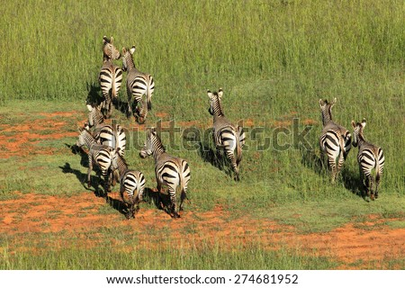 Aerial view of Hartmanns Mountain Zebras (Equus zebra hartmannae) in grassland, South Africa - stock photo