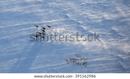 Aerial view of reindeer herd in winter tundra - stock photo