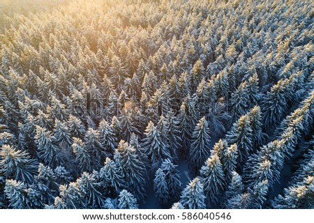 Aerial view of snow covered fir forest. Rows of spruces in sunlight.