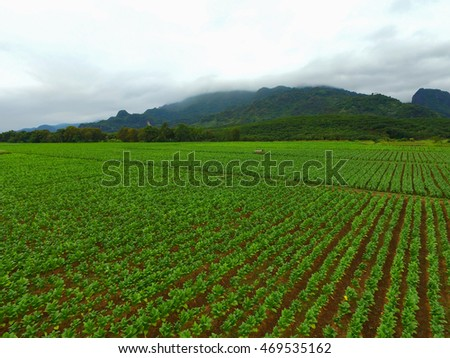 Aerial view of tobacco plantation