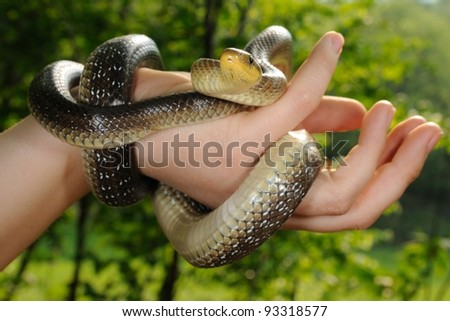 Aesculapian snake in a girl hand (Zamenis longissimus, the medicine symbol) - stock photo