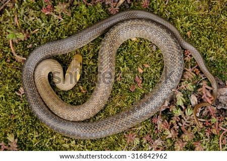 Aesculapian snake (Zamenis longissimus) pattern - stock photo