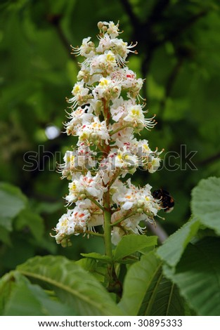Aesculus hippocastanum (blossom of horse-chestnut tree) with honeybee - stock photo