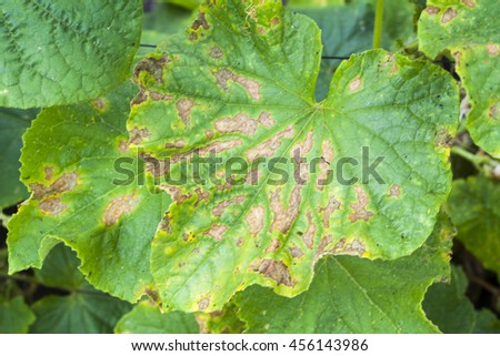 affected by diseases and pests of plant leaves and fruits of cucumber