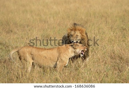 Affectionate male lion and lioness - stock photo