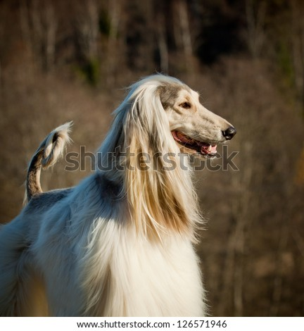 afghan dog - stock photo