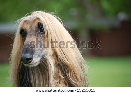Afghan Hound 2 - stock photo