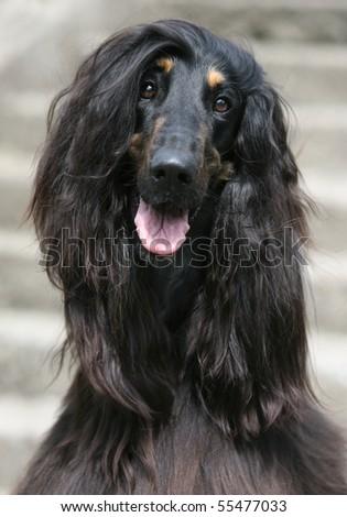 Afghan Hound - stock photo