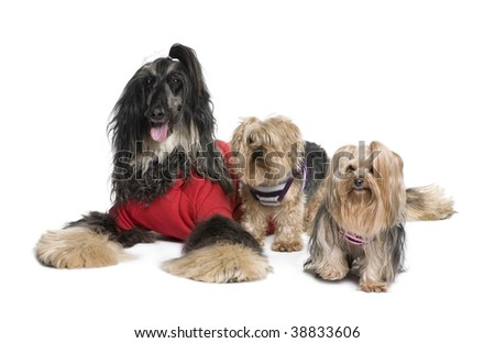 Afghan Hound and Yorkshire dogs sitting in front of white background, studio shot