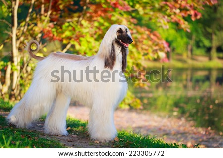 Afghan Hound dog - stock photo