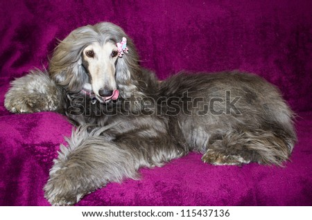 Afghan hound dog lazing  on her bed
