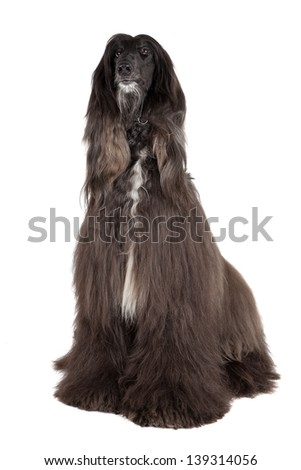 afghan hound on white background - stock photo